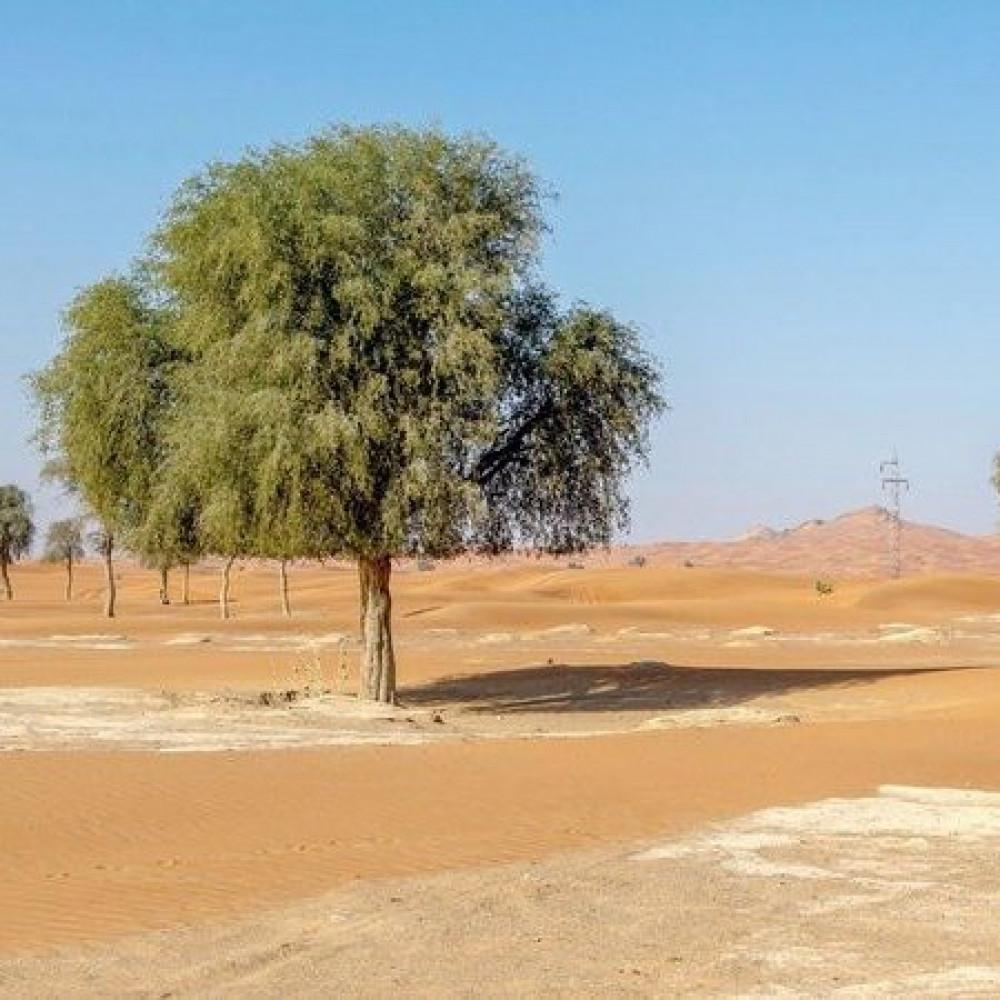 الغاف الخليجي - Prosopis Cineraria