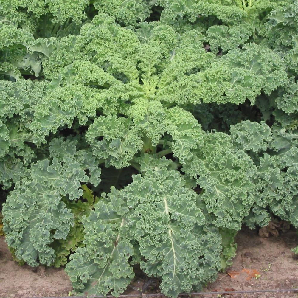 الكيل  أو الكالي - Brassica Oleracea