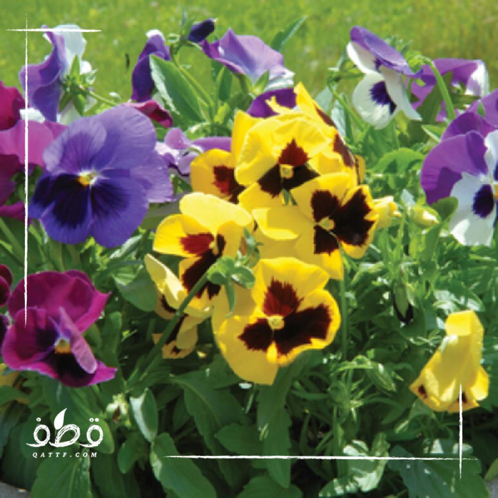 زهرة بنفسج الثالوث - بألوان وأشكل مختلفة - MIX Viola tricolore