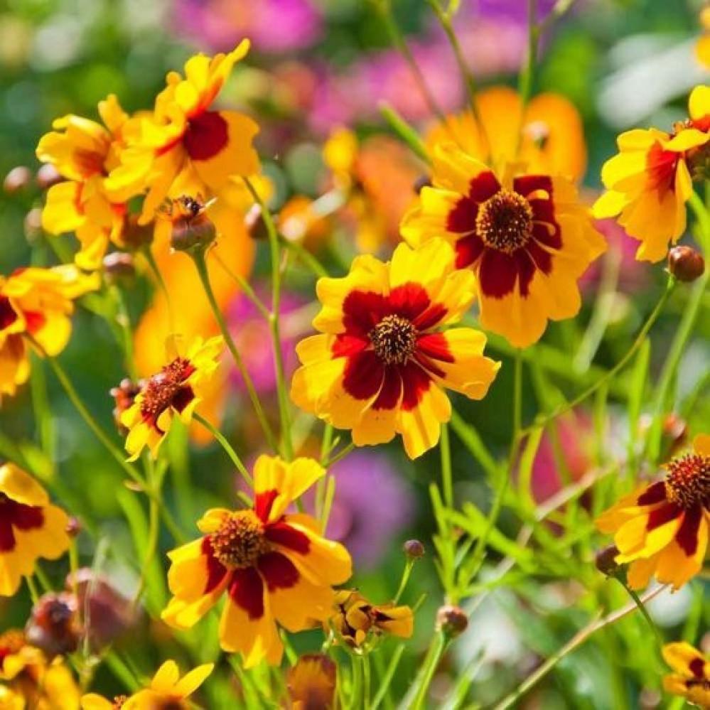 زهور كوريوبسس الذهبية - Coreopsis Tinctoria