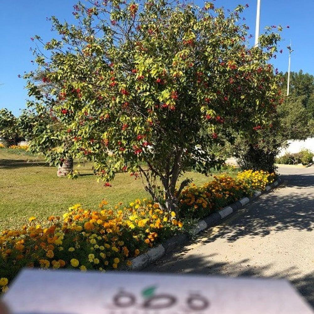 شجرة الجاتروفا الحمراء  - Jatropha integerrima