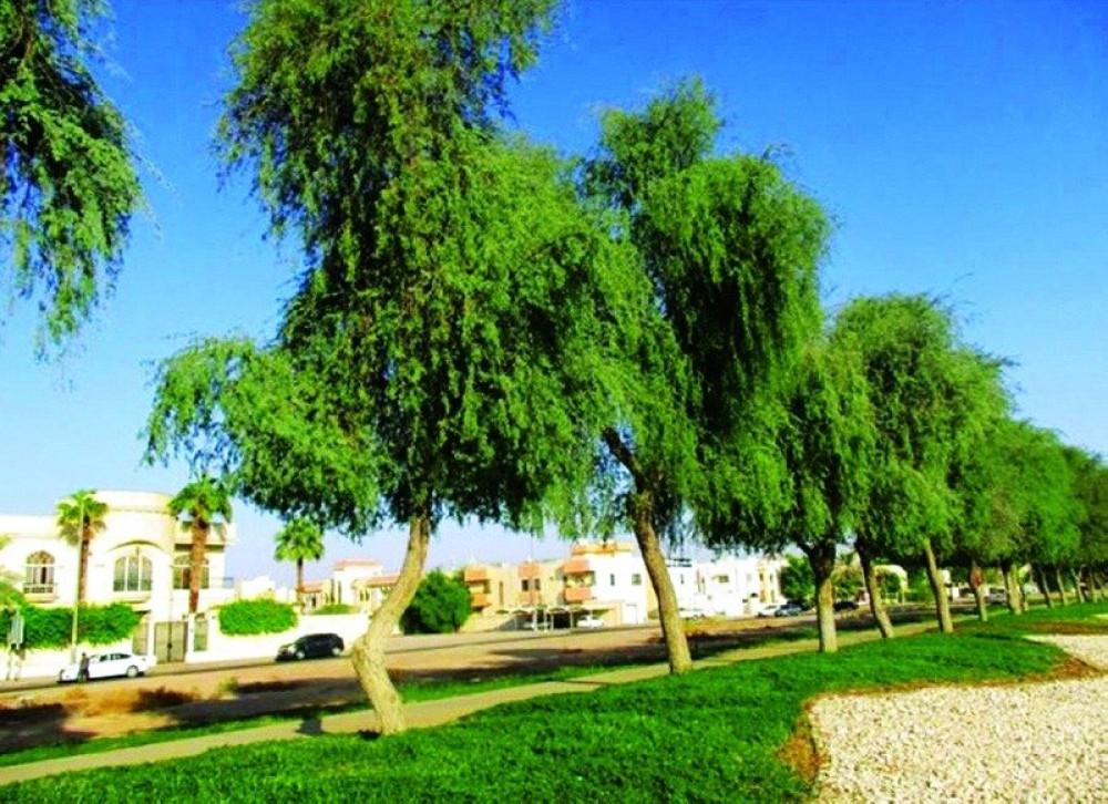 شجرة الغاف الخليجي - Prosopis Cineraria