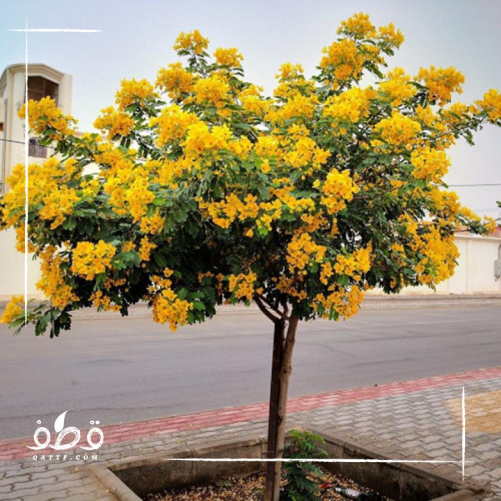 بذور  شجرة كاسيا جلوكا - Cassia Gluca