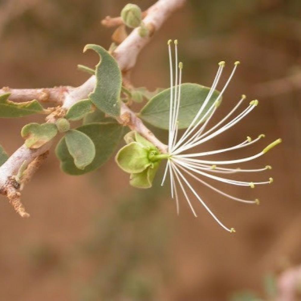 زهرة شجرة السرح - Maerua Crassifolia
