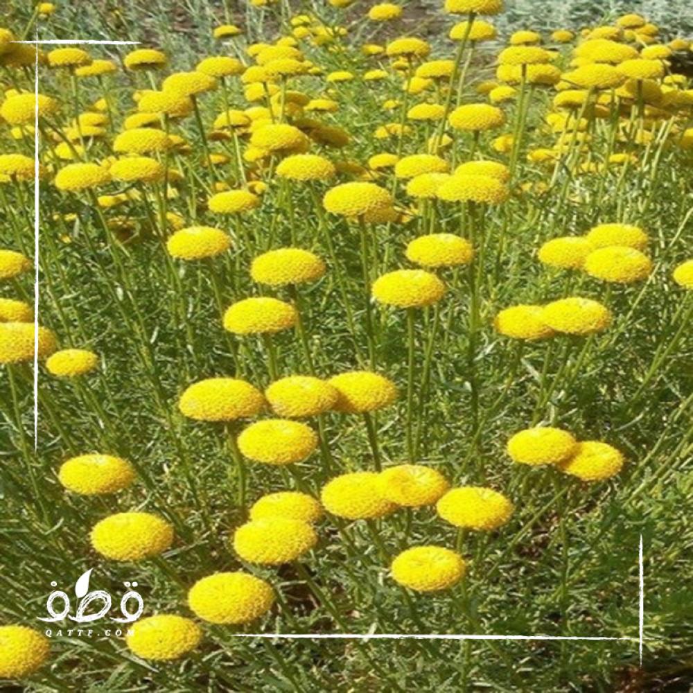 بذور عشبة القيصوم Achillea fragrantissima