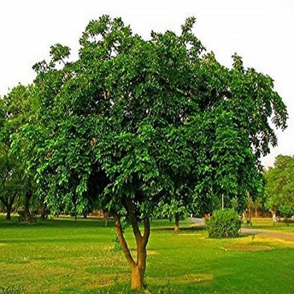 شجرة بونجاميا  شجرة الزان  - Derris Indica
