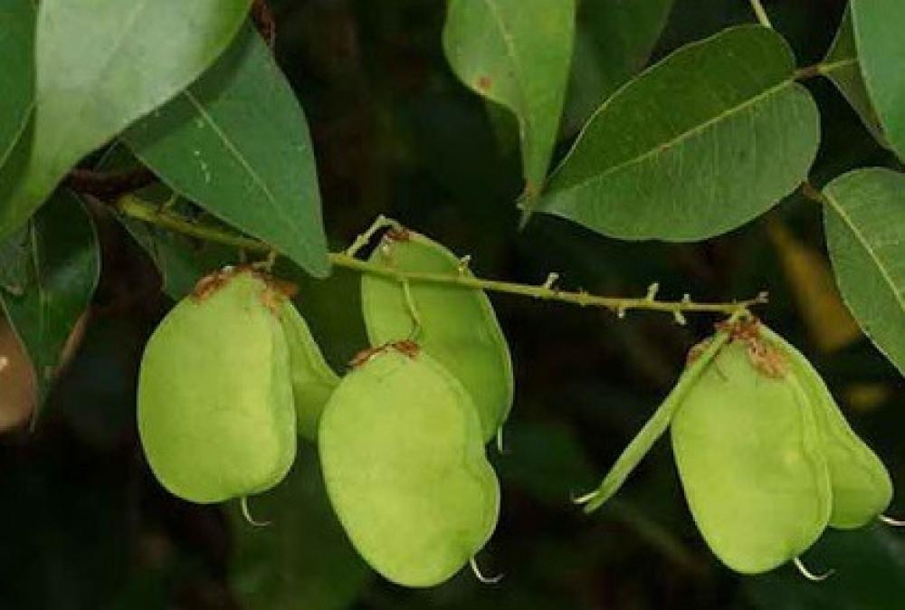 بذور شجرة بونجاميا  شجرة الزان  - Derris Indica