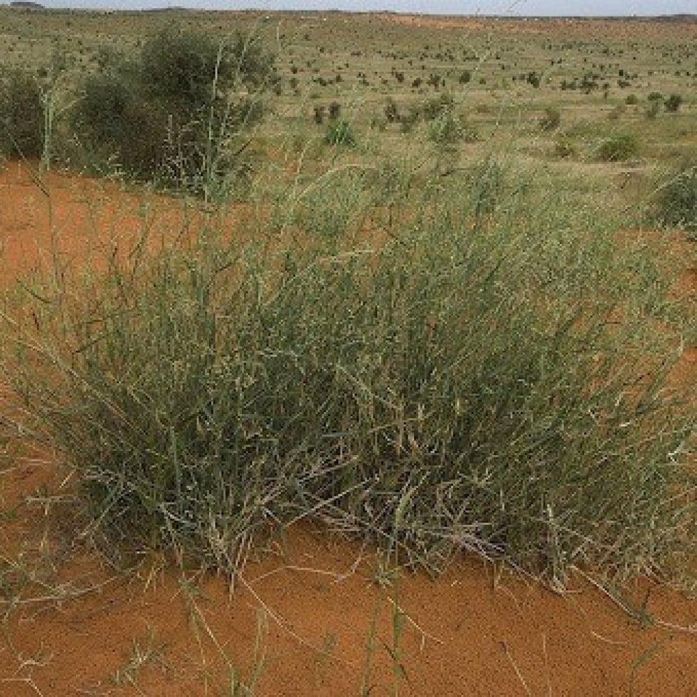 بذور شجيرة الثمام  عشب الصحراء - Panicum Turgidum