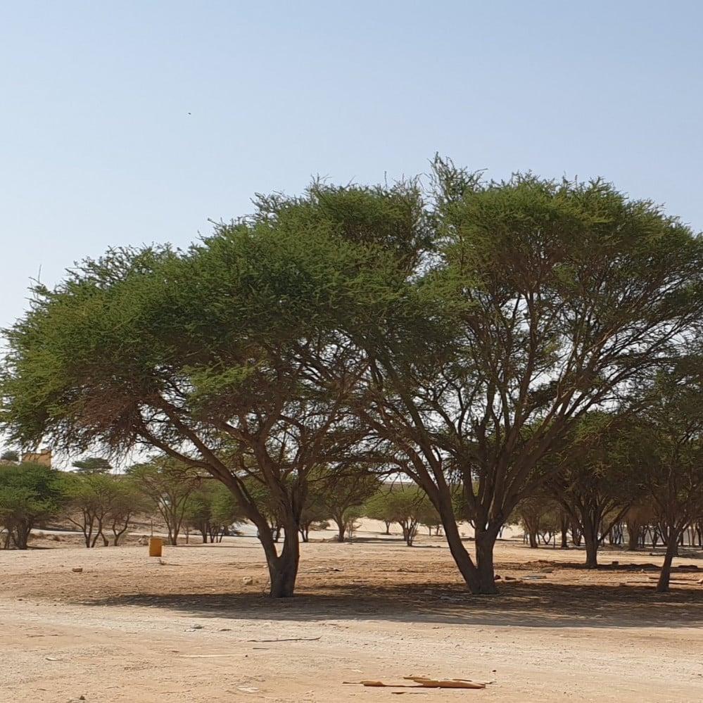 شجرة طلح الشبهان السيال