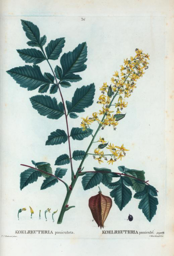 بذور شجرة المطر الذهبية  كليروتاريا  Koelreuteria Paniculata