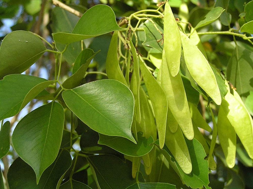 بذور شجرة السرسوع - Dalbergia Sissoo