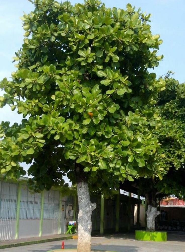 شجرة ترمناليا كتابا  لوز بحريني  هليلج هندي - Terminalia Catapp