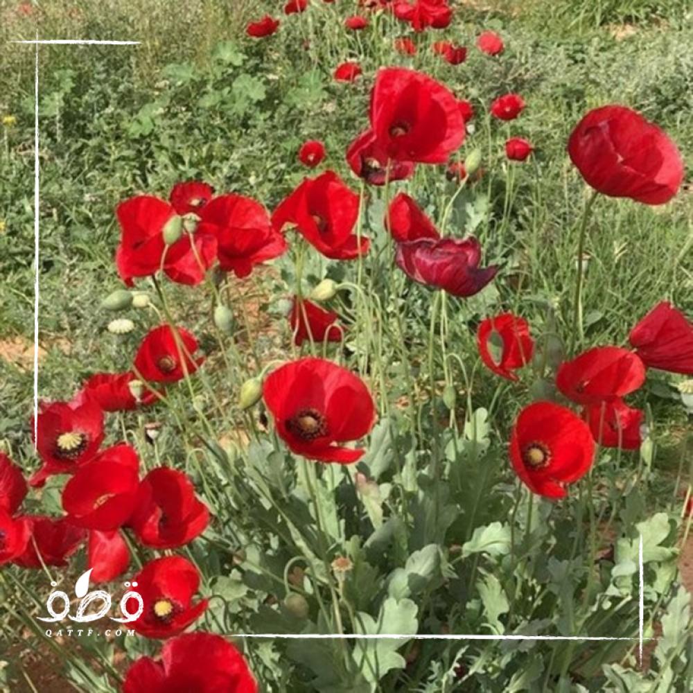بذور الديدحان  شقائق النعمان - papaver rhoeas