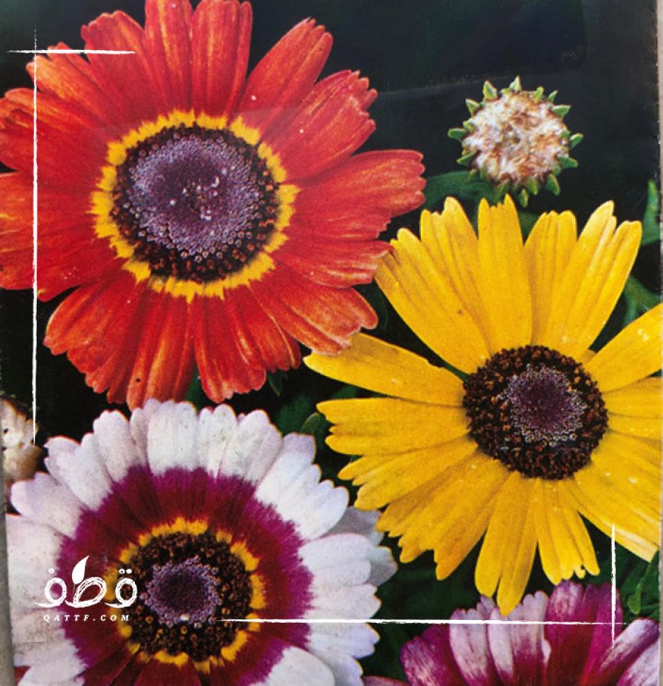 الاقحوان اراولا  Chrysanthemum Coronarium