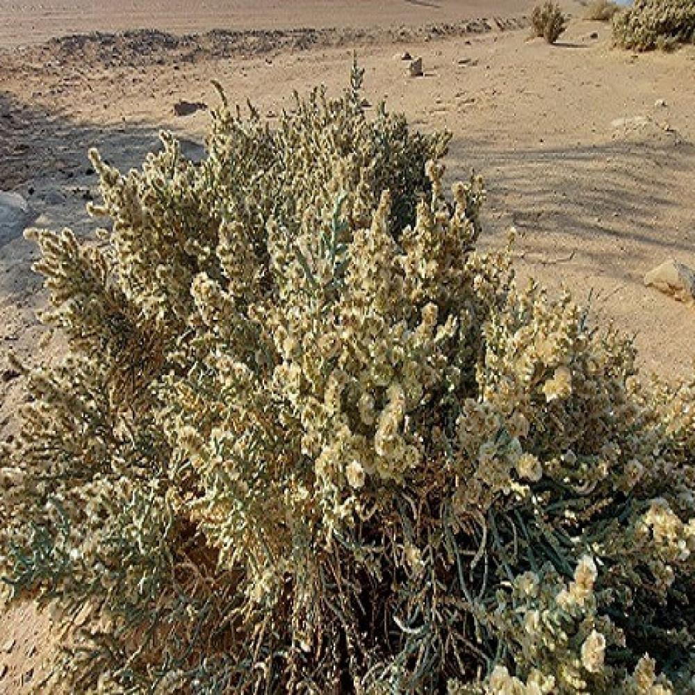 عشبة العجرم - Anabasis Aphylla
