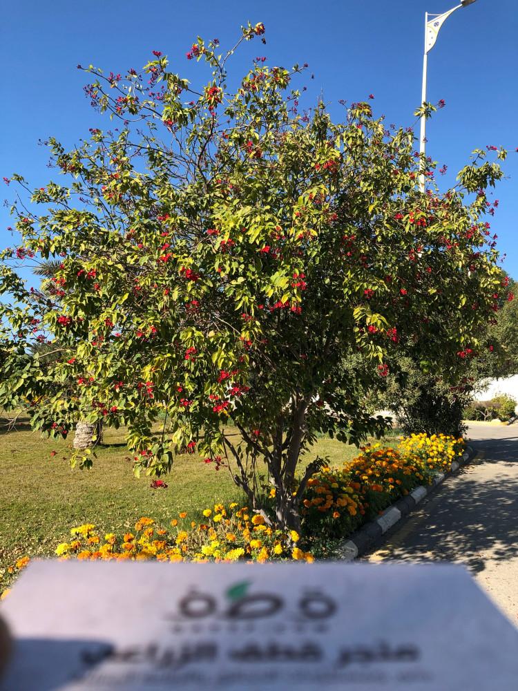 بذور شجرة الجاتروفا الحمراء  - Jatropha integerrima