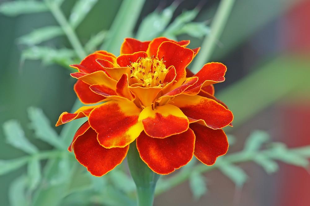 بذور زهرة المخملية الحمراء - Tagetes patula