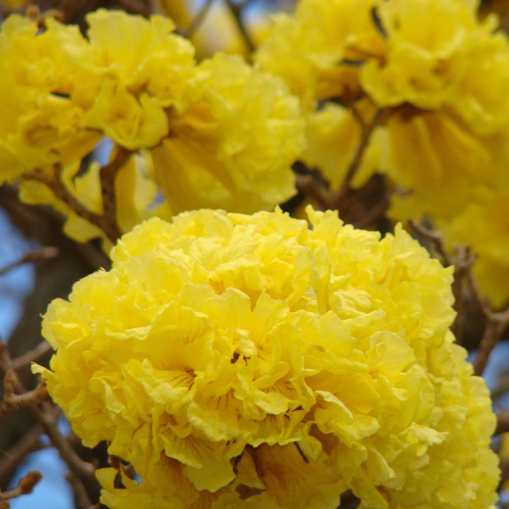 بذور تابوبيا الذهبية - Tabebuia Aurea
