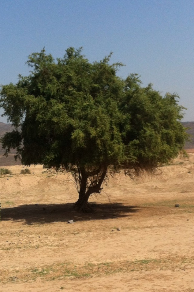 السدر البري النبق  Rhamnus spina-christi