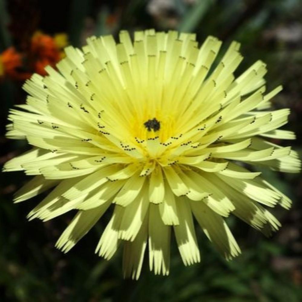 بذور عشبة العضيد البرية أو العضيض - Urospermum