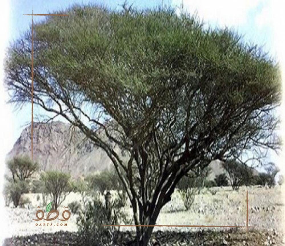 بذور السمر  Acacia Tortilis