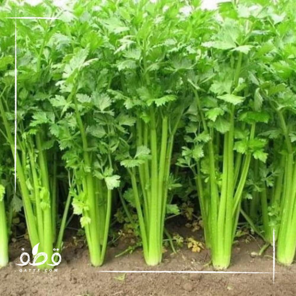 بذور الكرفس - Apium graveolens