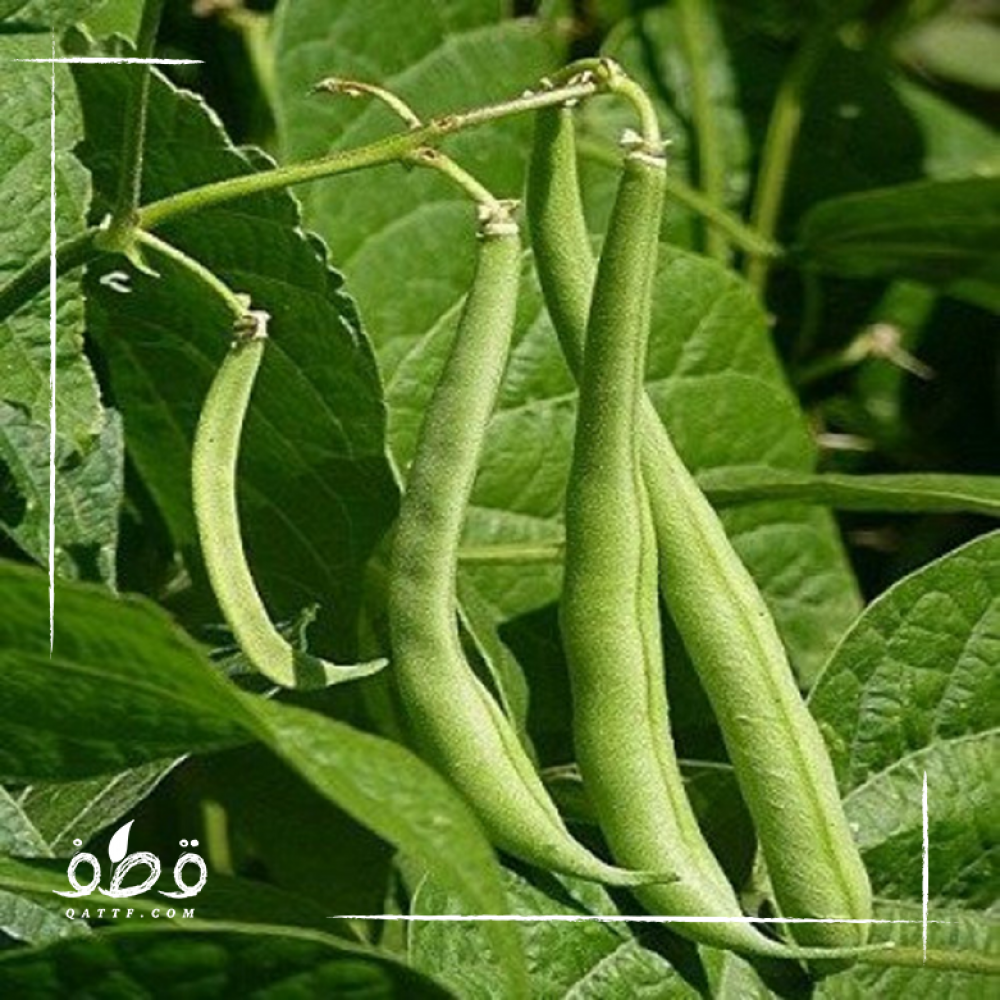 فاصوليا خضراء - Phaseolus vulgaris