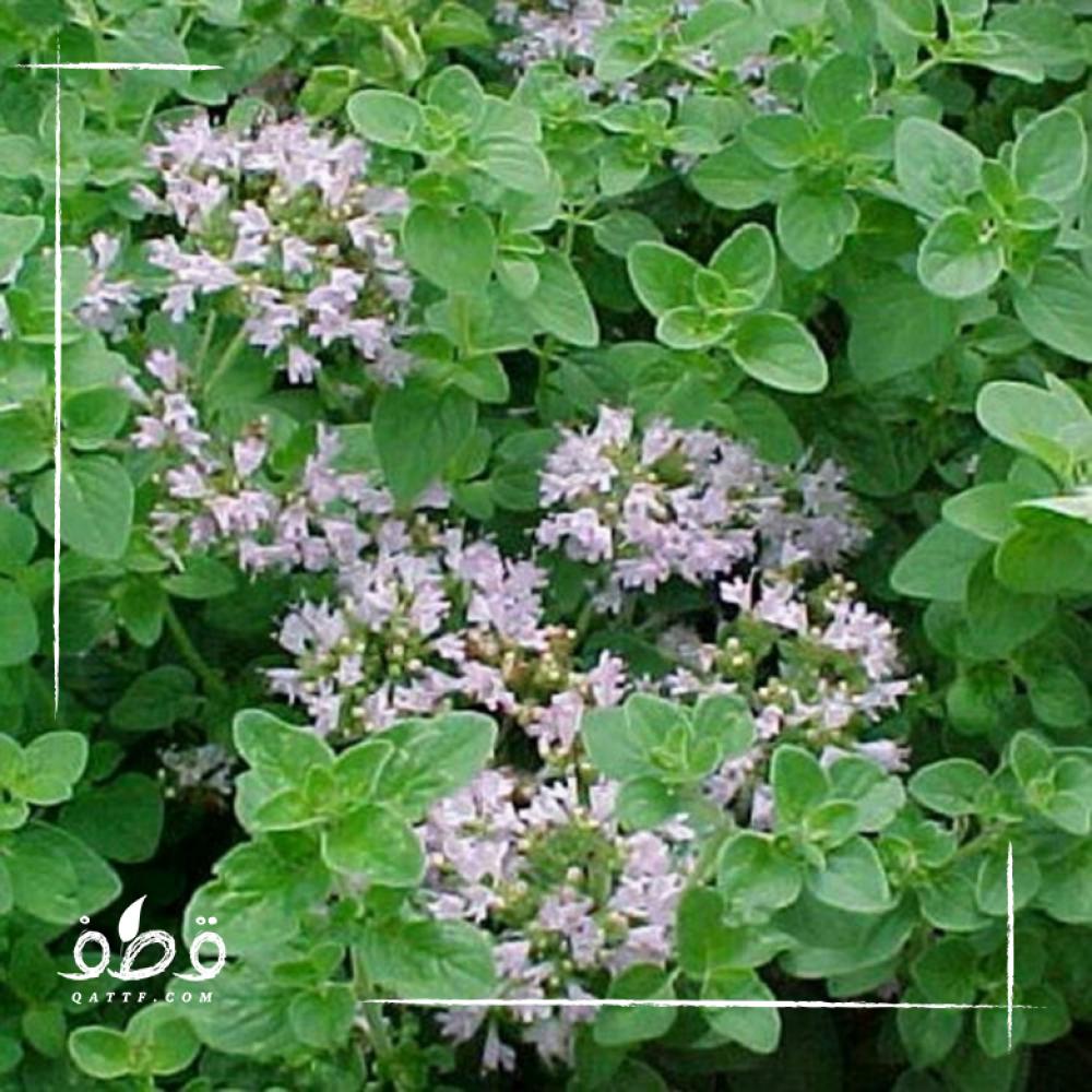 نبتة البردقوش - Origanum majorana