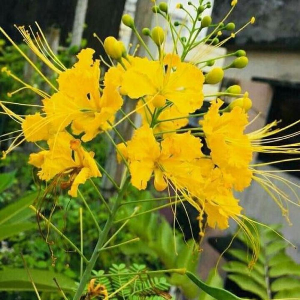 زهرة بونسيانا صفراء - بلتفورم - Peltophorum pterocarpum