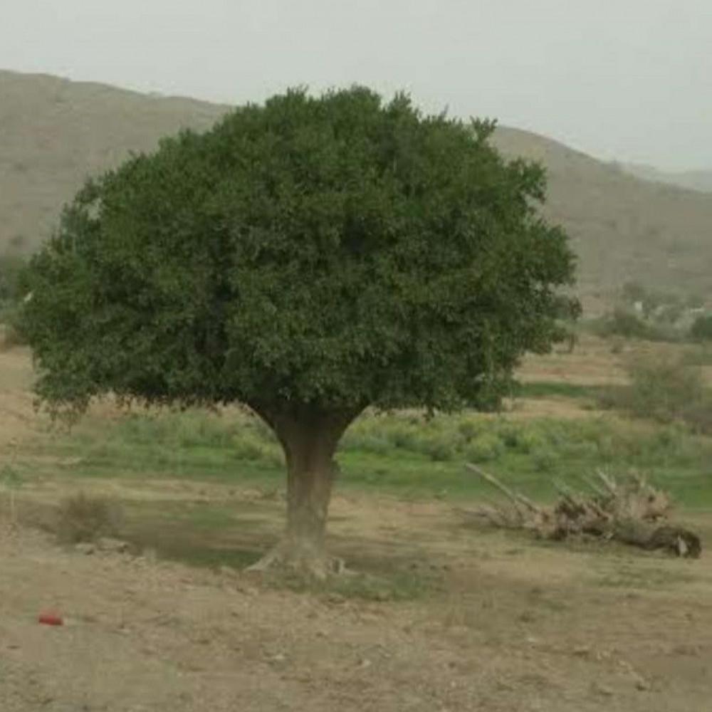 شجرة الضبر فاكهة المصع  Dobera Glabra