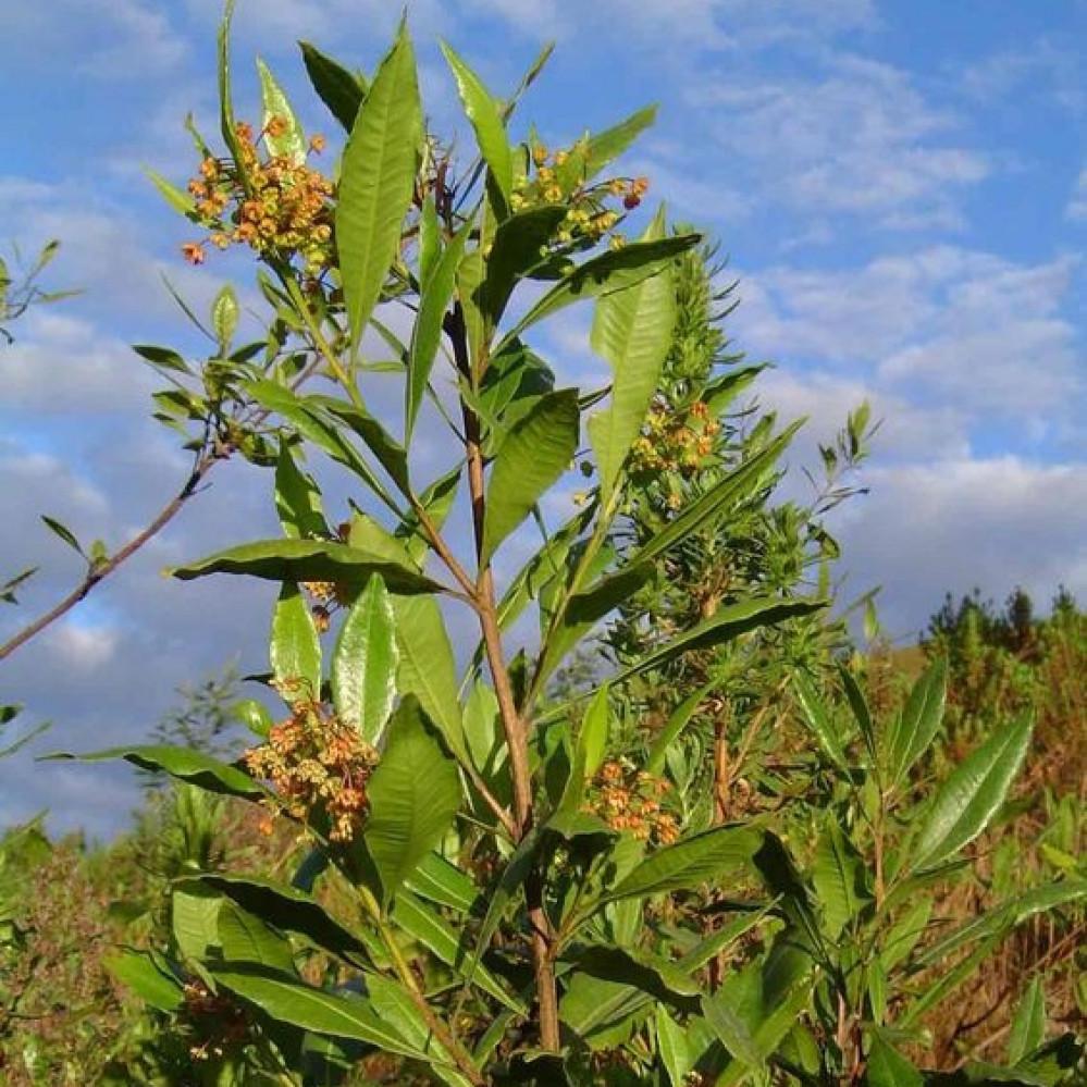 شجرة  دودونيا  الشث - Dodonaea