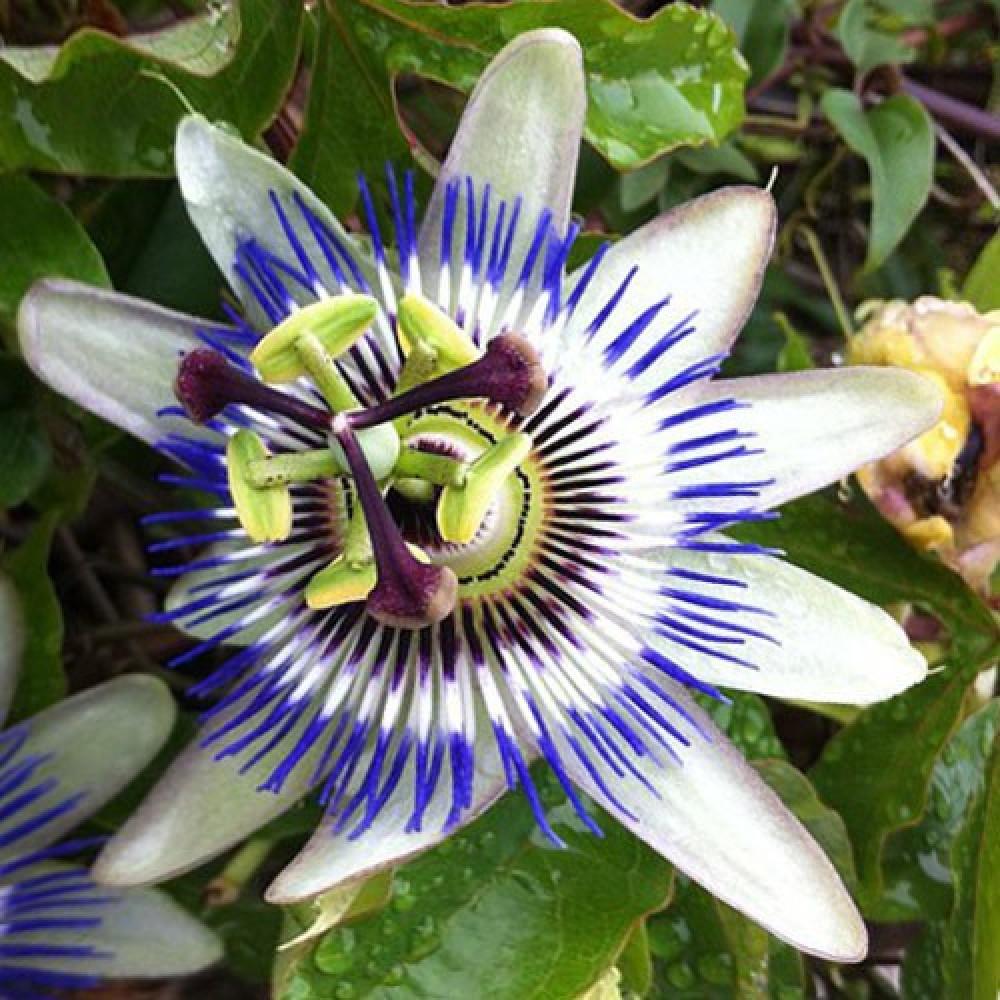 متسلقة زهرة الساعة  باسيفلورا - Passiflora Caerulea