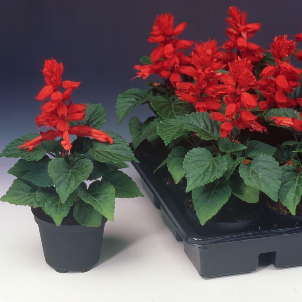 بذور زهرة سلفيا الحمراء - Salvia Splendens