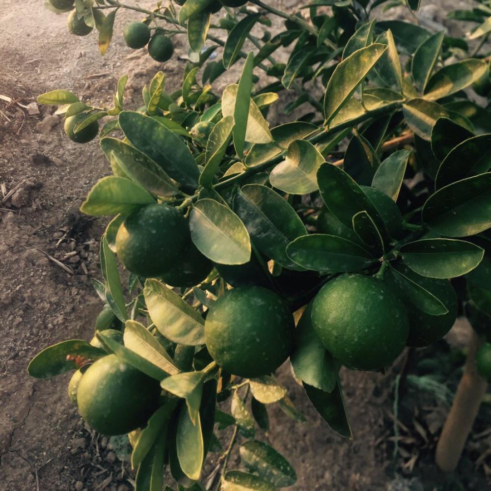 بذور ليمون بنزهير - Lime