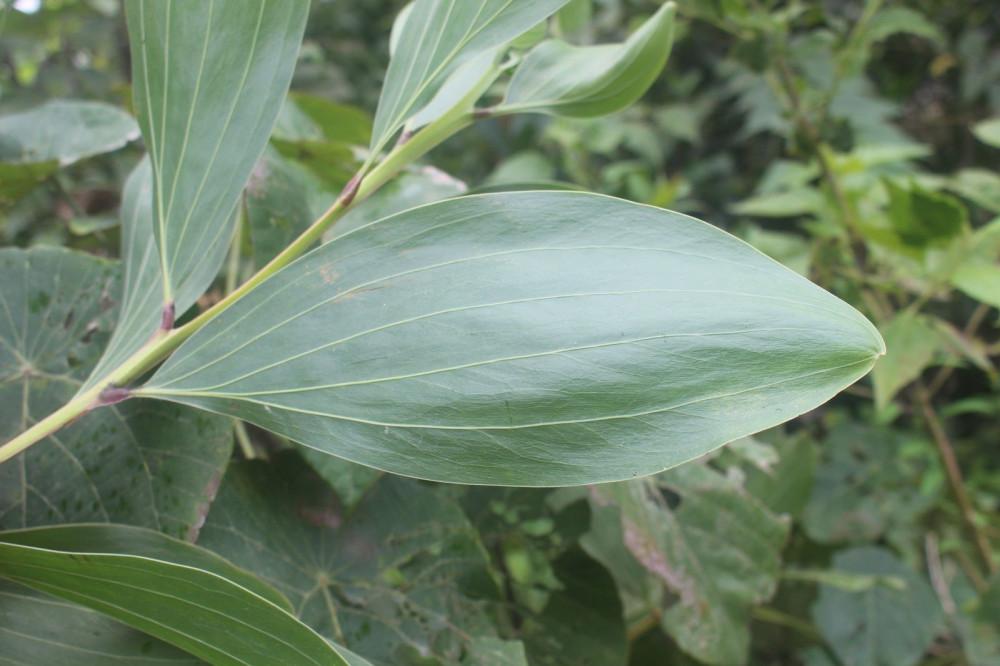 ورقه شجرة اكاسيا مانقيوم - Acacia Mangium