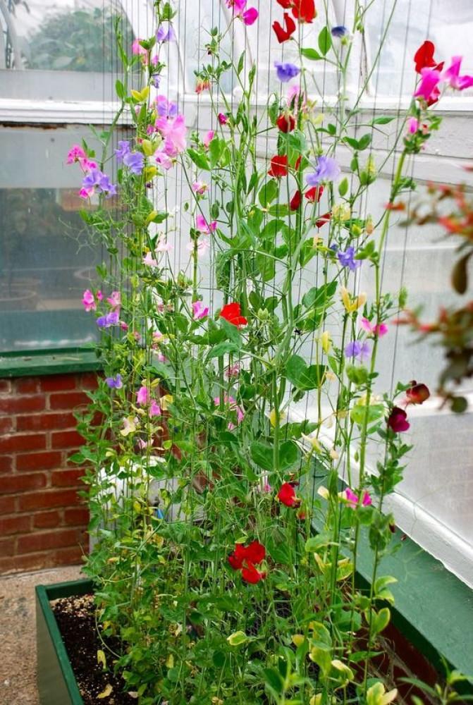 بذور بسلة الزهور