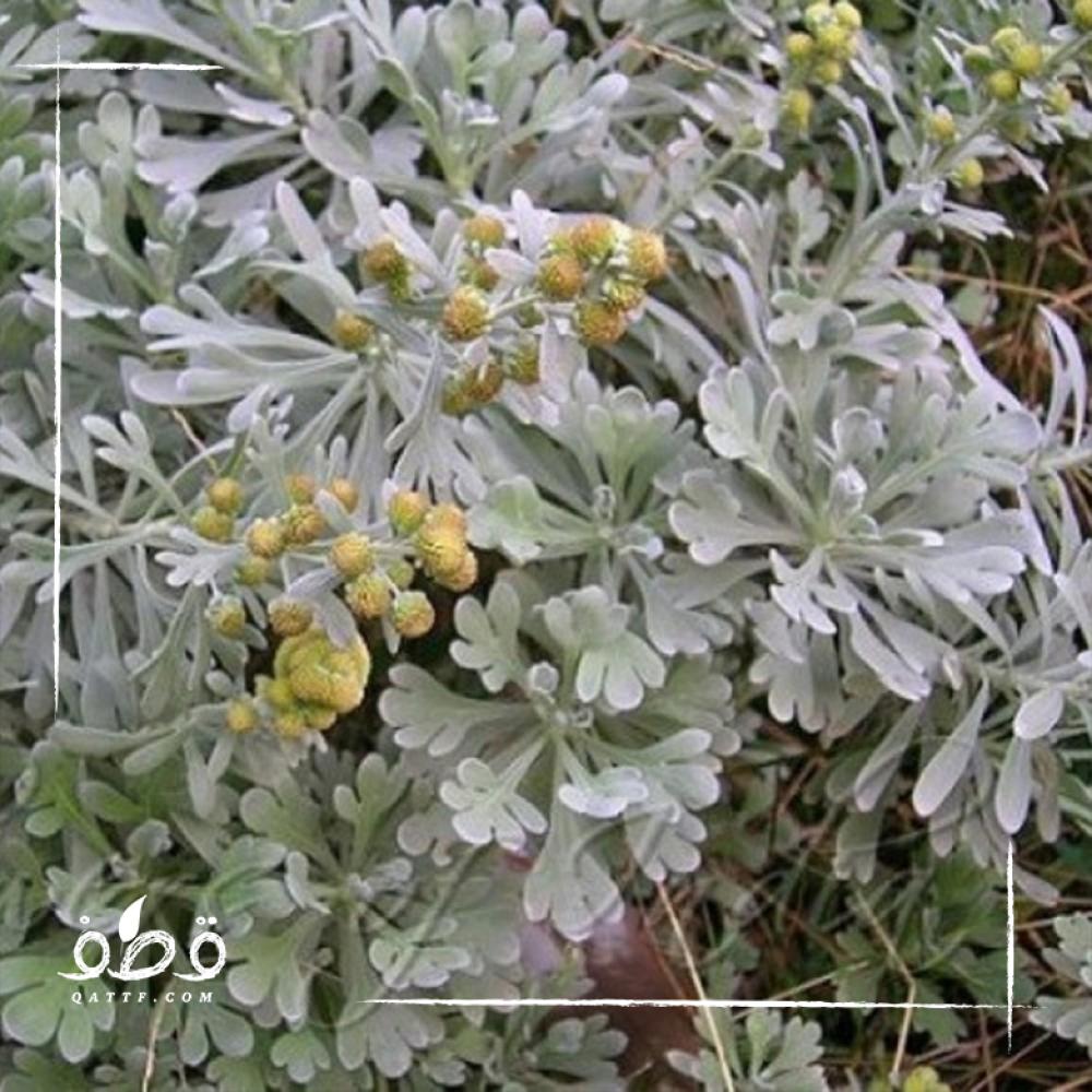 بذور  الشيح - Artemisia