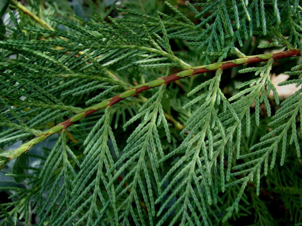 بذور شجرة السرو - Cupressus