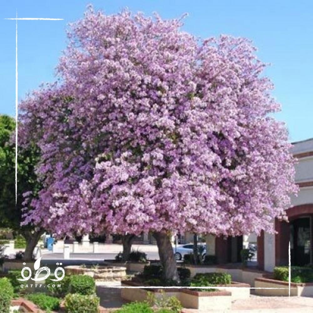شجرة بوهينيا خف الجمل  Bauhinia variegata