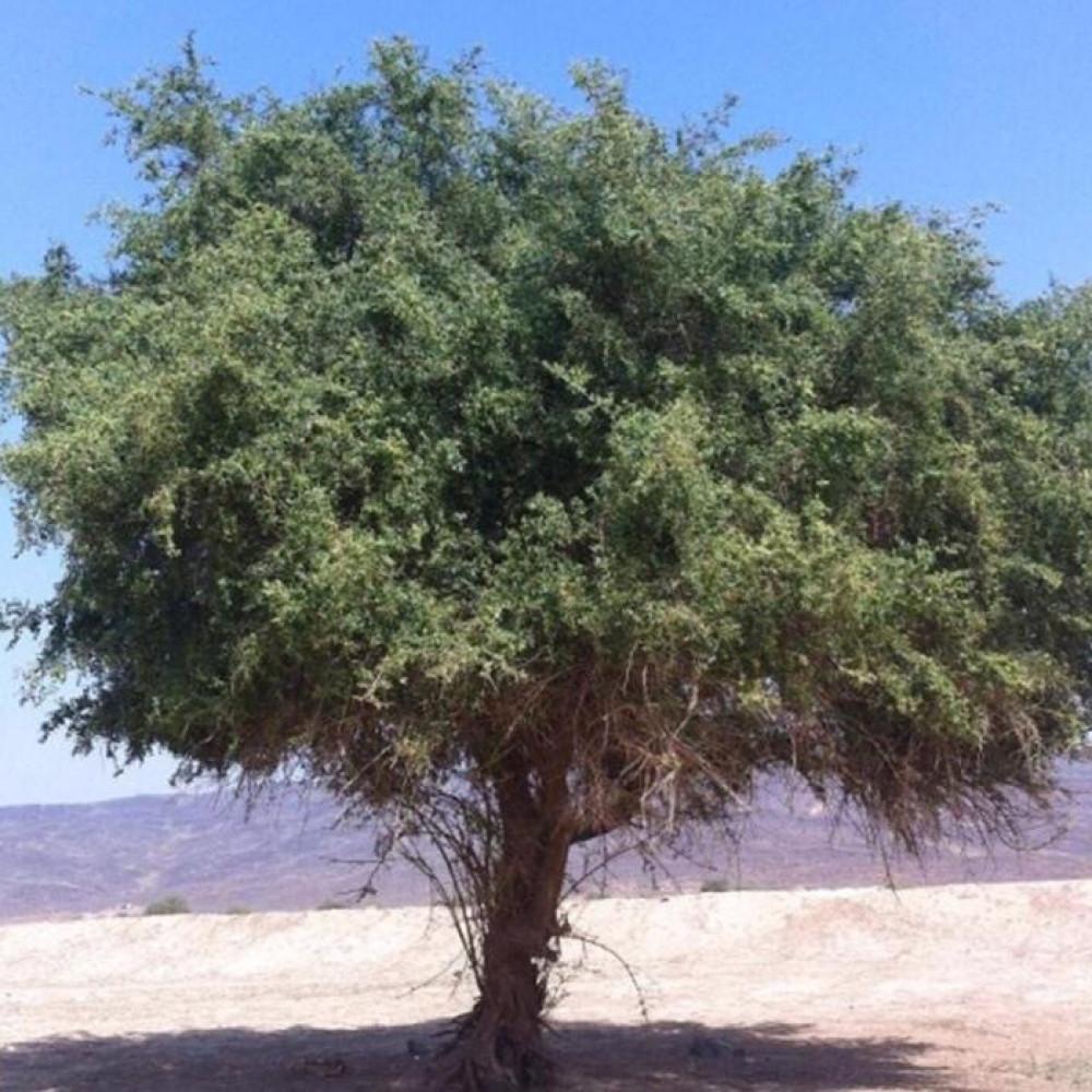 السدر النبق المغربي - Rhamnus