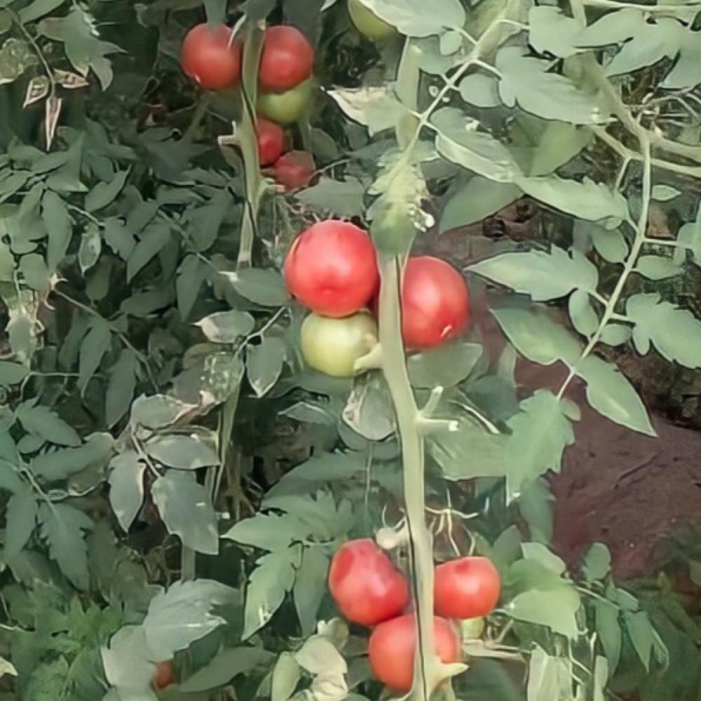 بذور الطماطم الحساوي