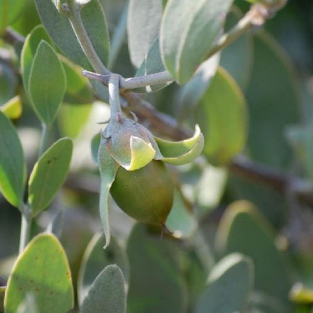 بذور شجيرة جوجوبا - Simmondsia Chinensis