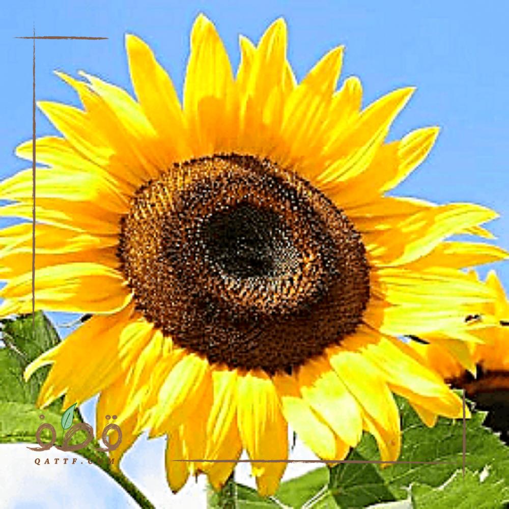 بذور دوار الشمس الحساوي العملاق