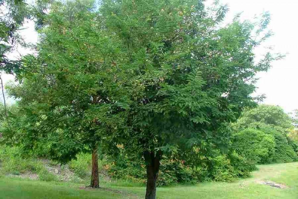 شجرة  التمر الهندي  الحمر  Tamarindus Indica