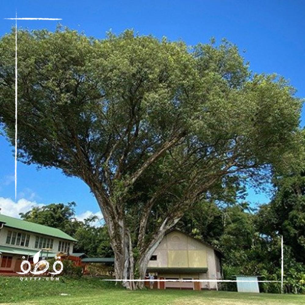 بذور فيكس لسان العصفور - Ficus religiosa