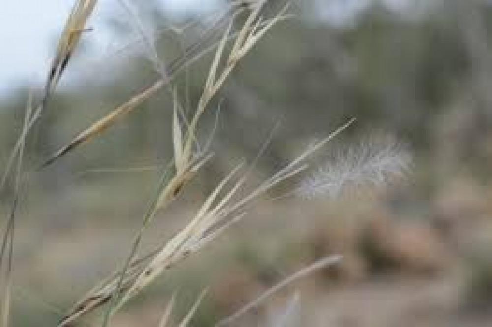 بذور عشبة النصي الرعوية - Stipagrostis