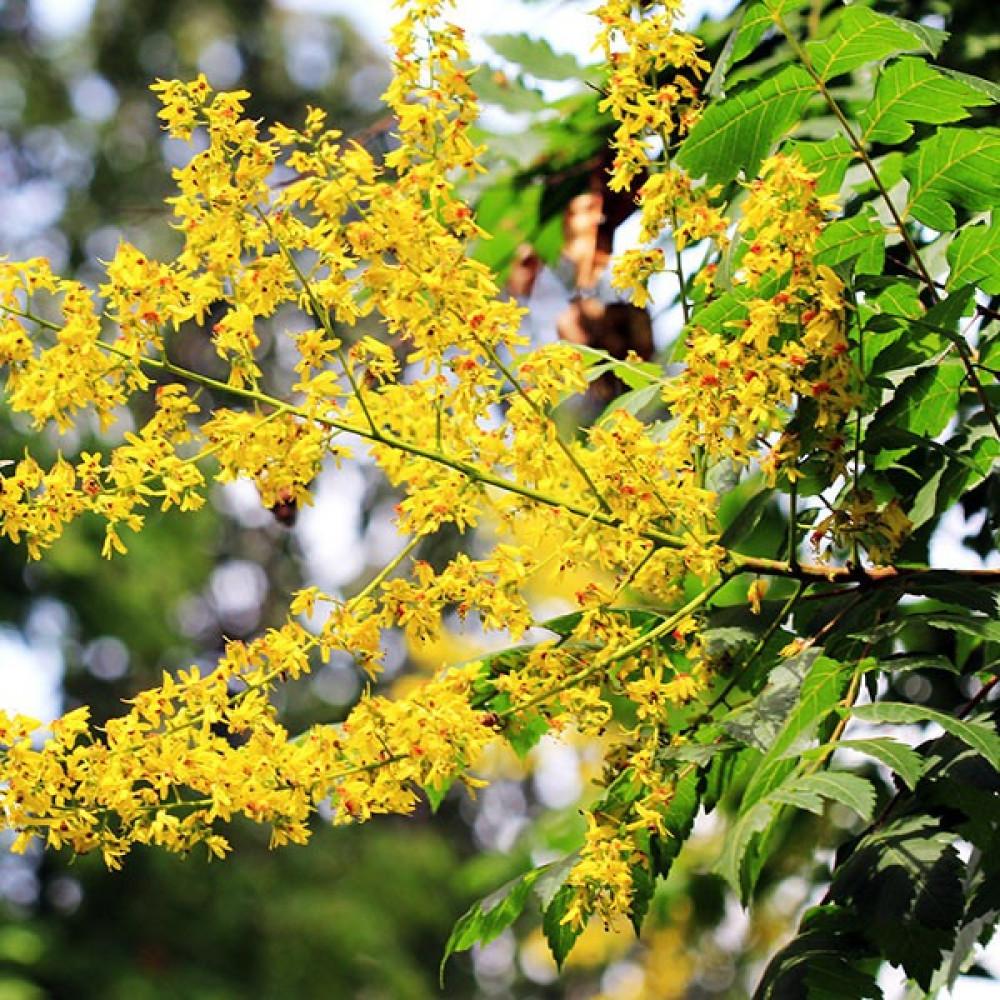 زهرة شجرة المطر الذهبية  كليروتاريا  Koelreuteria Paniculata
