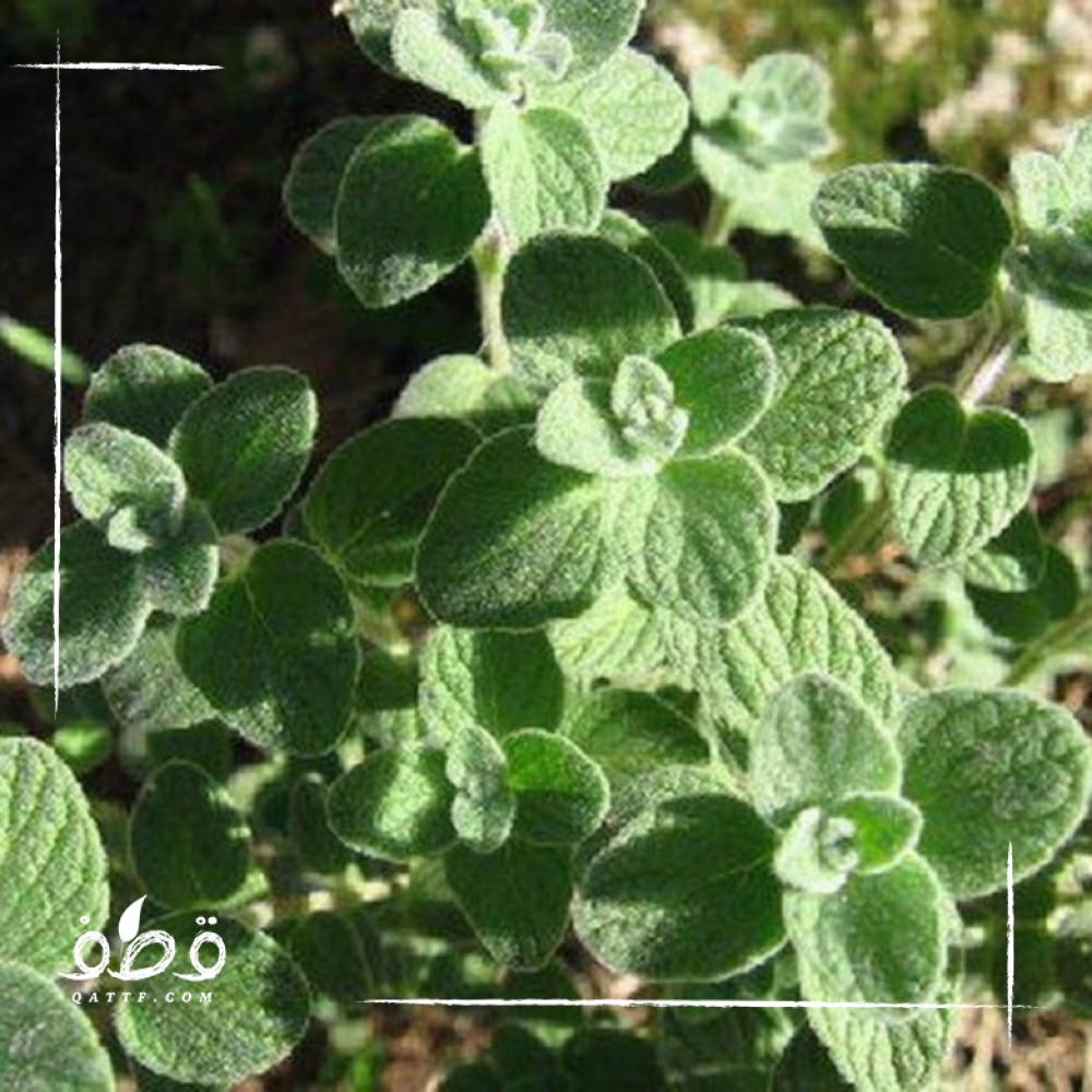 بذور  الزعتر Thymus