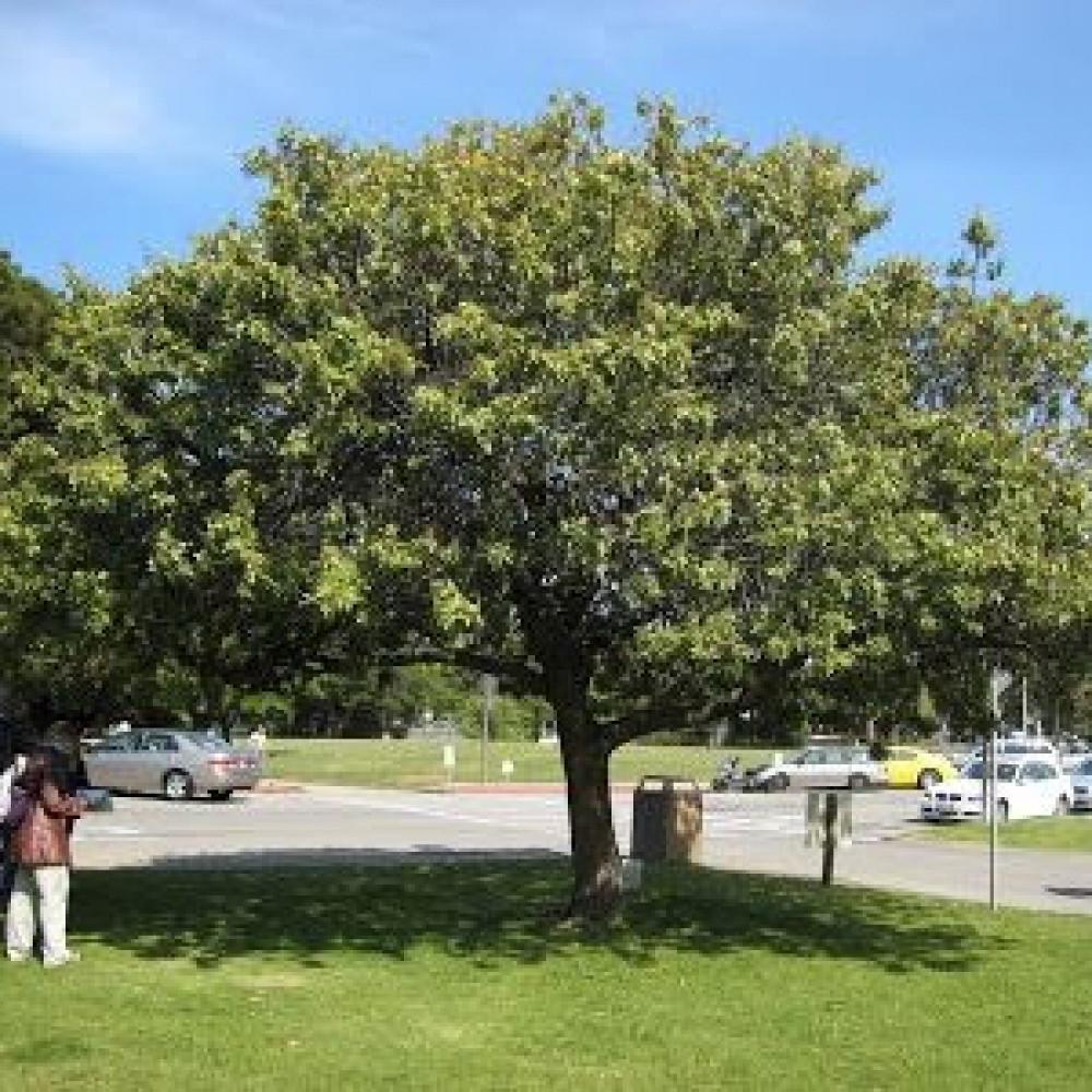 شجرة الفلفل البيروفي عريض الأوراق - Schinus terebinthifolius