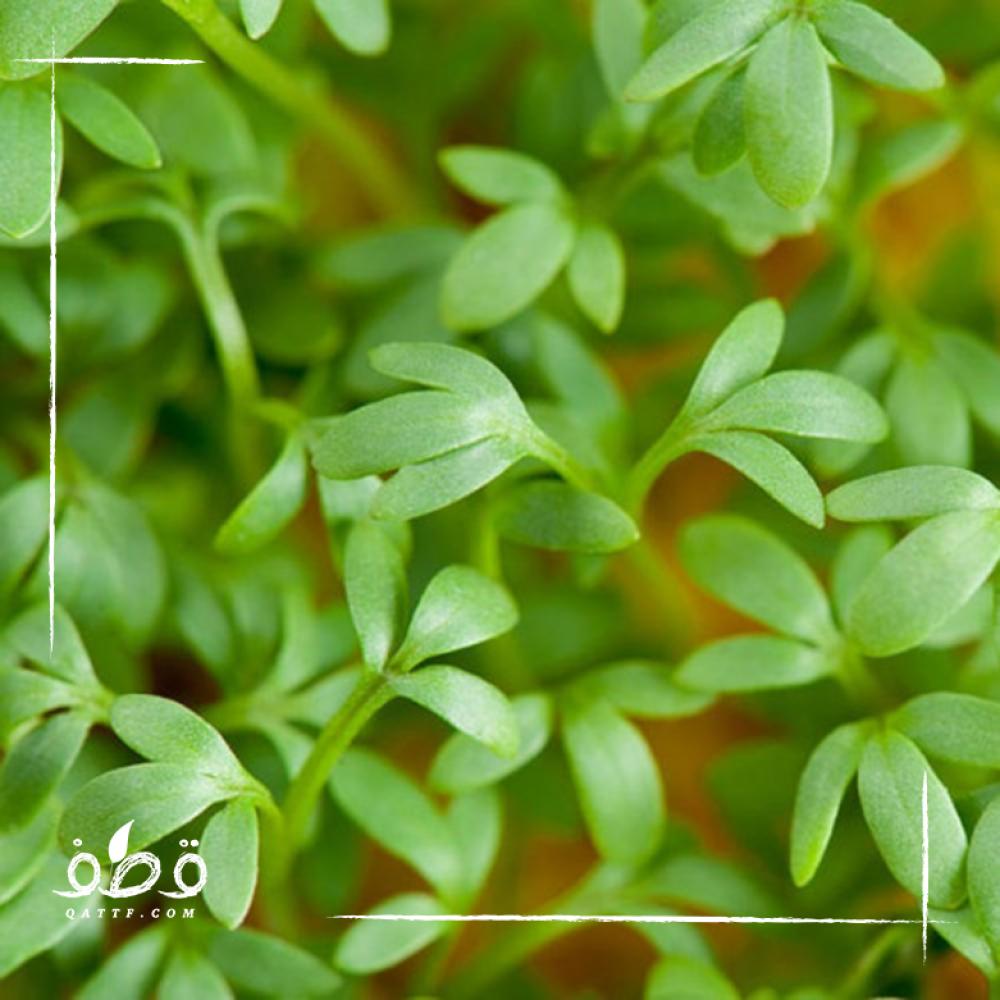 حب الرشاد - Lepidium Sativum
